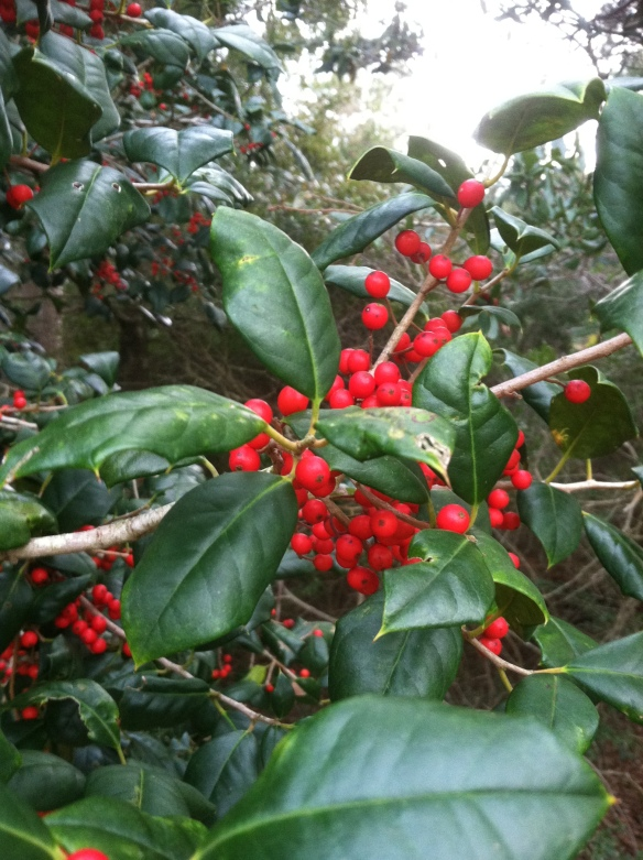Local Holly Tree
