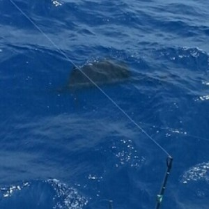 Marlin Mania sailfish
